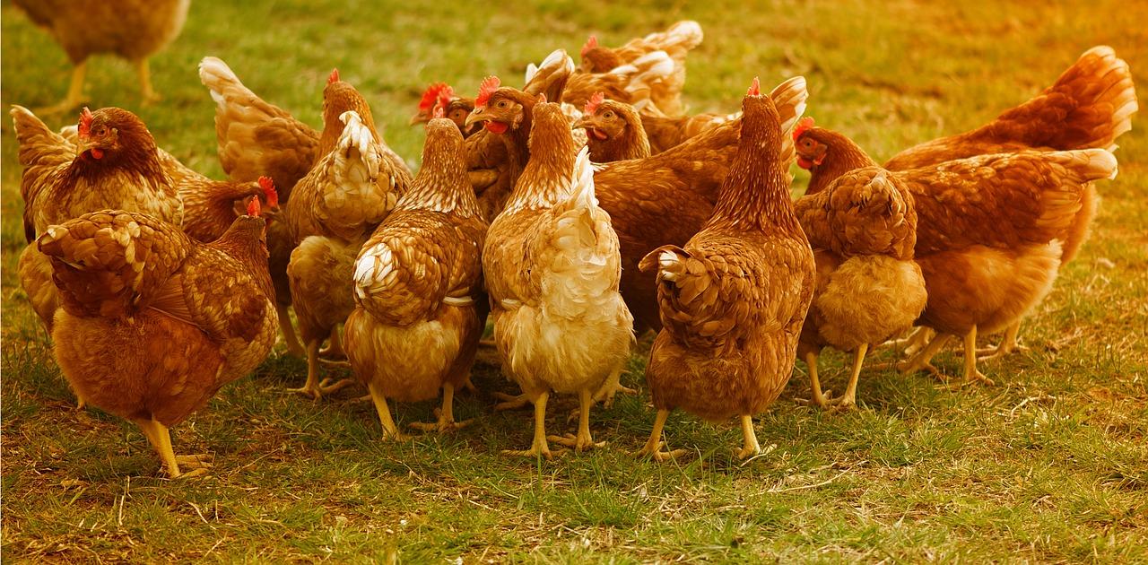 pollo 1556205238 - Pollo a dieta
